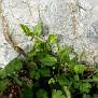 Convolvulus siculus (3)