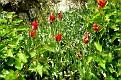 Tulipa agenensis (21)
