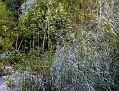 Equisetum ramosissimum (1)