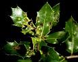 Aceria quercina (2)
