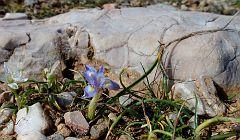 Moraea mediterranea (Gynandriris monophylla) (18)