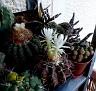 Discocactus heptacanthus (7)