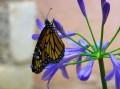 Papillon, hanging on