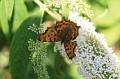 vlindervervolg120706 012