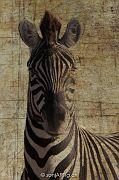 Zebra 2