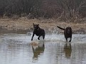 Kona & Gypsy running in water March.JPG