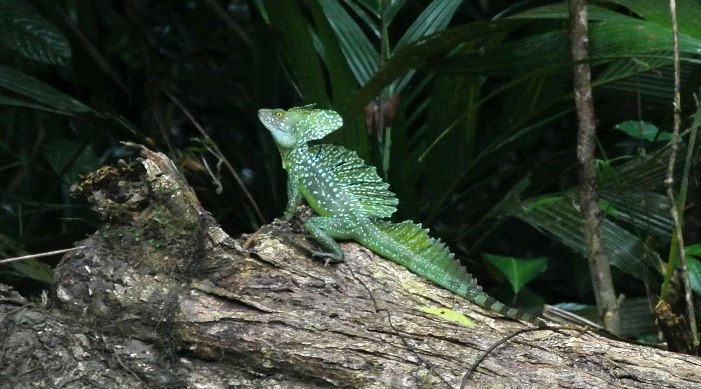 Another Jesus Christ lizard