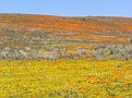 Poppy Reserve2008 042.jpg