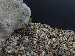 Monilaria chrysoleuca