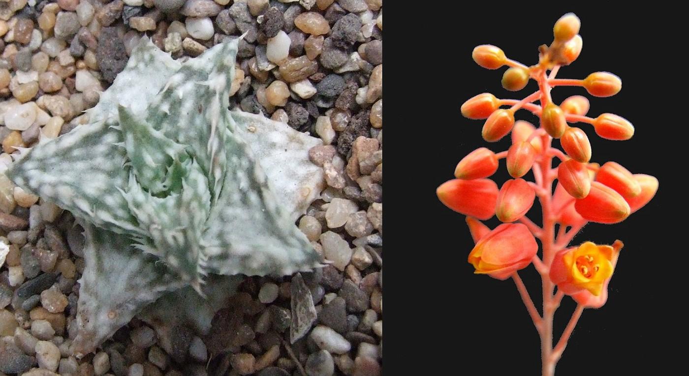 Aloe descoinsii ssp. augustina