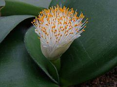 Haemanthus Hybrid
