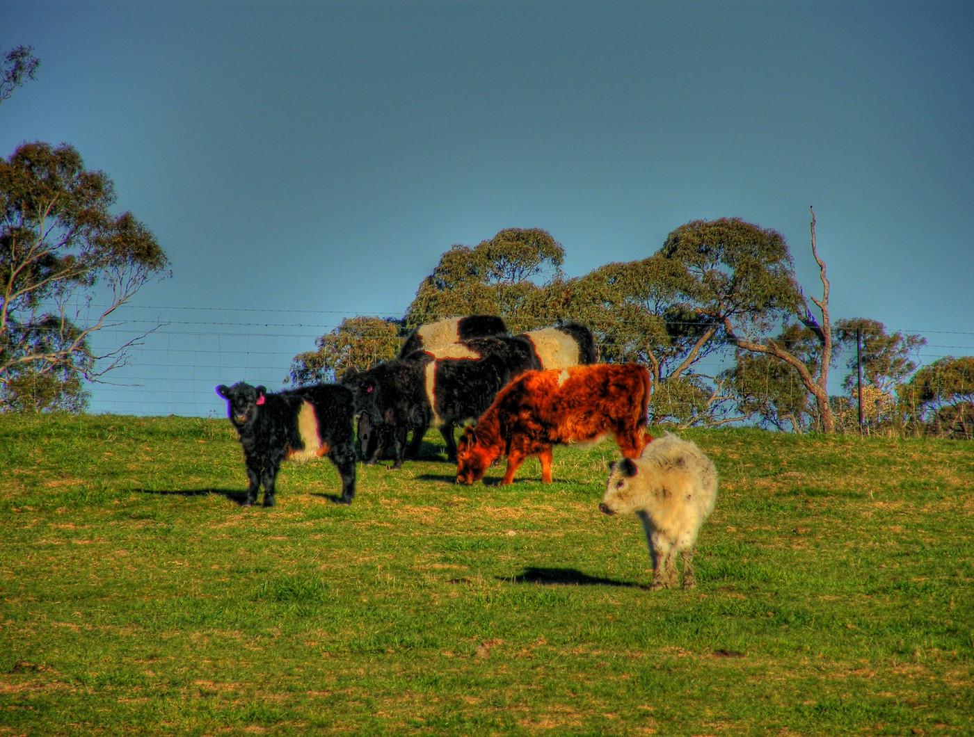 Galloway cattle in paddock near Byng 008