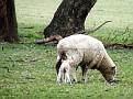 Newborn Lamb on Yarras Lane Bathurst 003