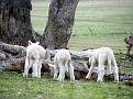 Lambs playing on Yarras Lane Bathurst 008