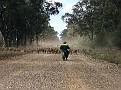 Droving a mob of sheep in the Pilliga 010