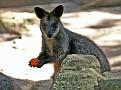 Sydney Zoo - Wallaby
