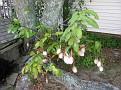 Next Morning shot of the Nightblooming Cereus at my neighbors (Joe & Hazel) house.