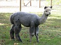 Taking Hiromi and Soji to visit the local Alpaca Farm!!!