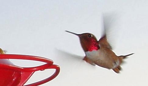 Rufous hummingbird returns
