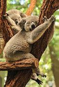 Australia - KOALA NA