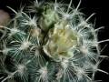 Sclerocactus scheeri (Ancistrocactus megarhizus )