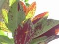 Synadenium compactum var. rubrum