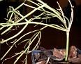 Rhipsalis teres