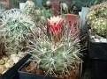 Eriosyce paucicostata ssp  floccosa - Neoporteria floccosa (11)