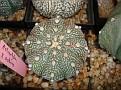 Astrophytum x asterias