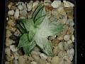 Haworthia retusa variegata