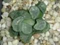 Haworthia maughanii Japanese form