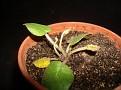 Dorstenia brasiliensis