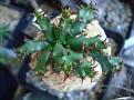 Euphorbia squarrosa