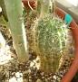 Echinopsis Hybrid 'Spectre'