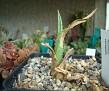 Manfreda variegata W