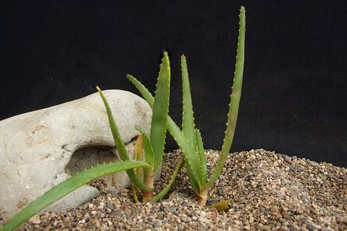 Aloe capitata