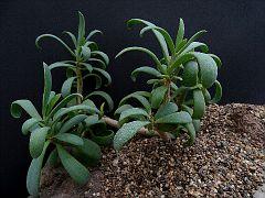 Kleinia amaniensis