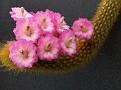 Akersia roseiflora