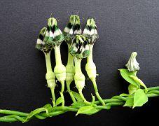 Ceropegia denticulata ssp. brownii