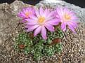 Mammilaria bombycina cv 'Henri'