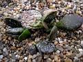 Adromischus bicolor Platbakkies CG473
