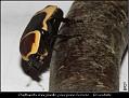 Pachnoda marginata peregrina Female - Rosenbille