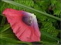 DSCN1455 Papaver somiferum 04 08 12
