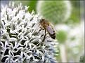 DSCN1467 Hvit tistel og bie 04 08 12