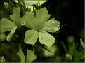 DSCN1591 Dianthus knappii 'Yellow Harmony' 06 08 12