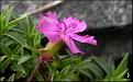 Dianthus haematocalyx var. pindicola