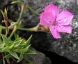 Dianthus haematocalyx v. pindicola