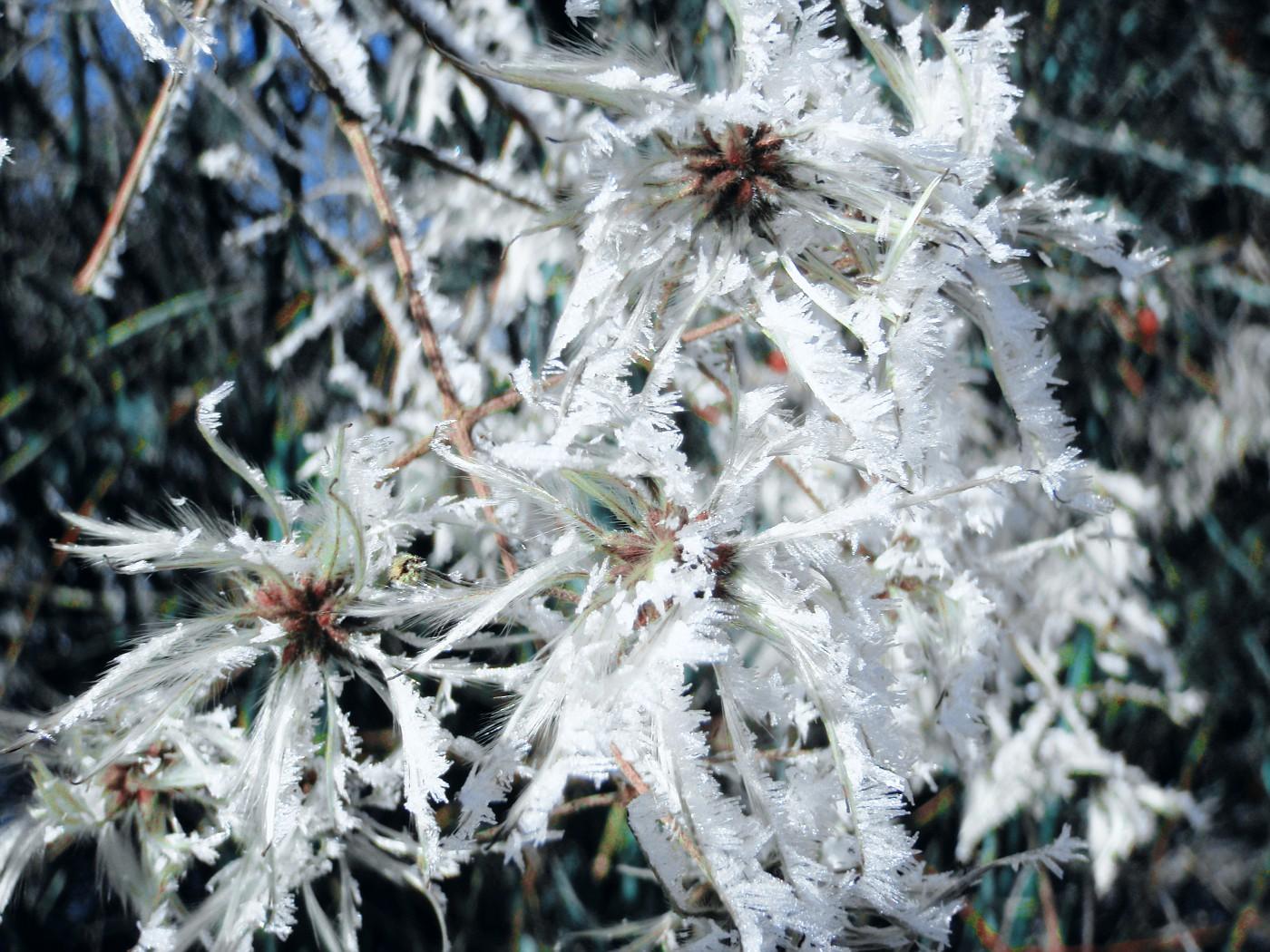 Heckenrosen oder Eisblumen?
