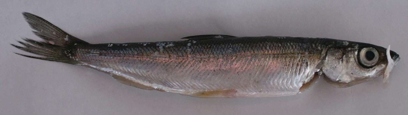Разведение рыбы - Ряпушка