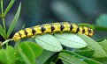 Caterpillar for becoming a butterfly - perhaps a swallow tail?
